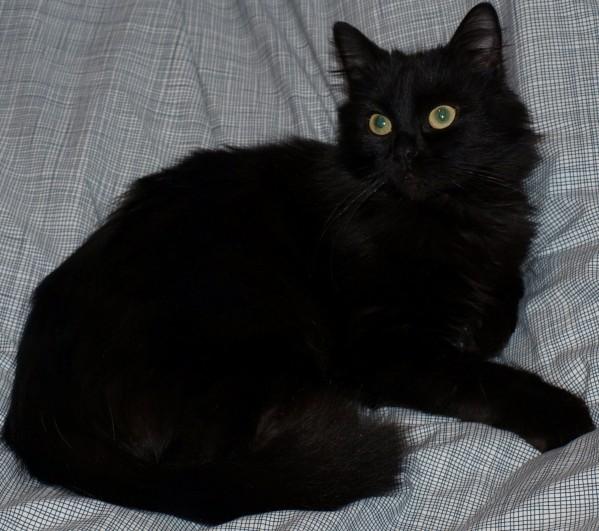 Semi Long Haired Cross Cat