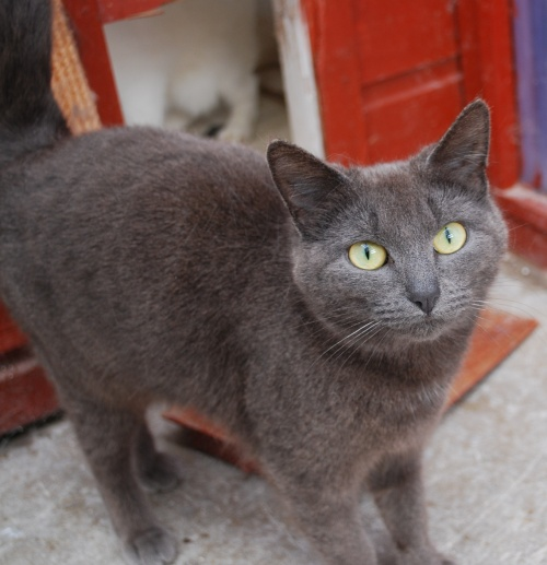 Shadow 2 year old female grey domestic short haired cat