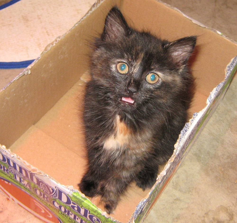 calico kittens for sale pets world