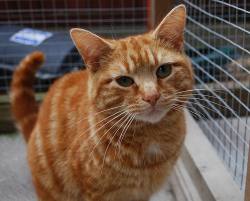 Tigger – 2 year old male Ginger Domestic Short-Haired Cat Tabby Persian