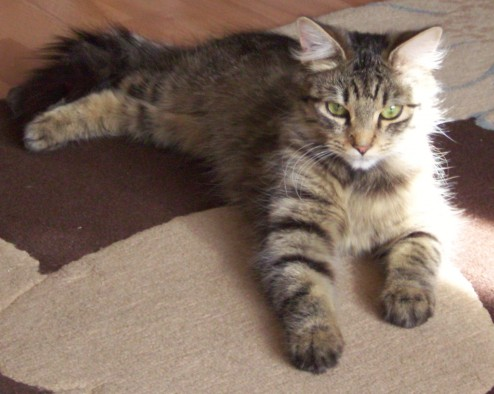 kayday 1 year old female tabby domestic semi long haired