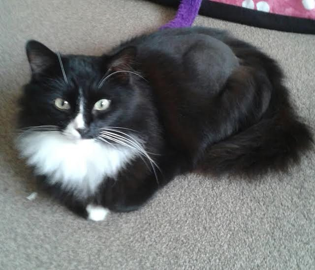 missy 6 year old female black and white domestic long haired cat